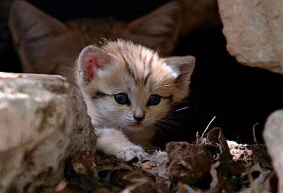 sand_cat_kitten_04