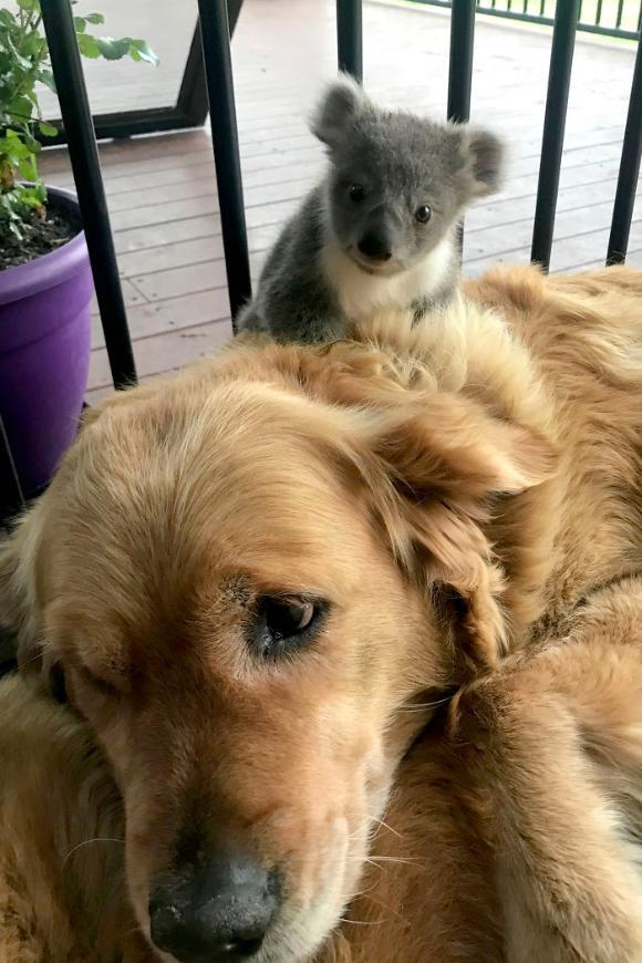 koala-2 [www.imagesplitter.net]