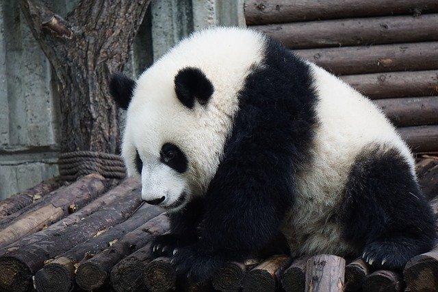 panda-2859555_640