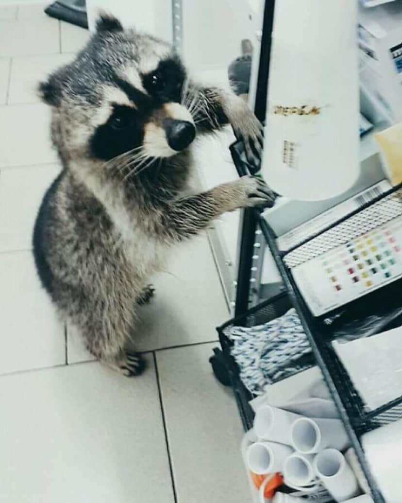 raccoon-6 [www.imagesplitter.net]