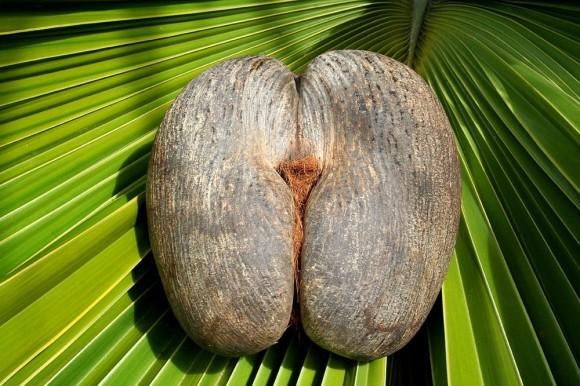 いろんな意味で禁断の果実。5つのギネス記録を持つ「ココ・デ・メール(フタゴヤシ)」の種子に関する歴史と伝説