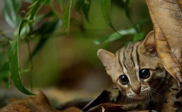 世界がメッロメロ!つぶらな瞳と小さなボディに萌え萌えキュン!「サビイロネコ」にズームイン!