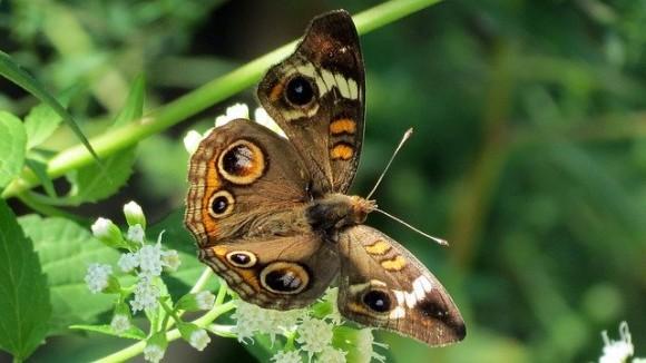 owl-butterfly-2037918_640_e