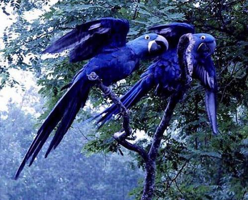 hyacinth_macaw1
