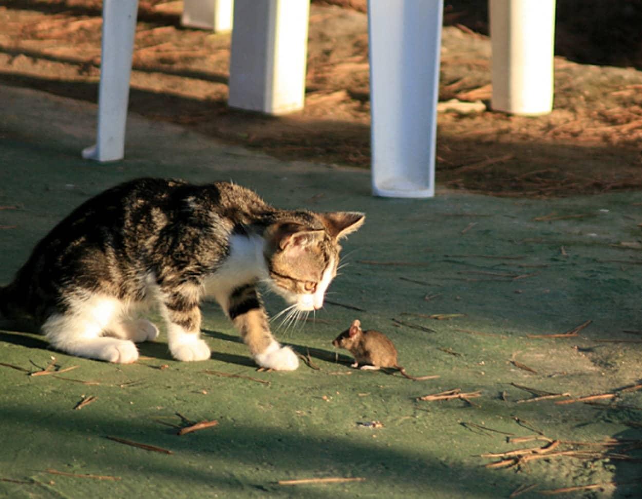 ネズミ退治の命を受け、1000匹の猫が市内に放たれる