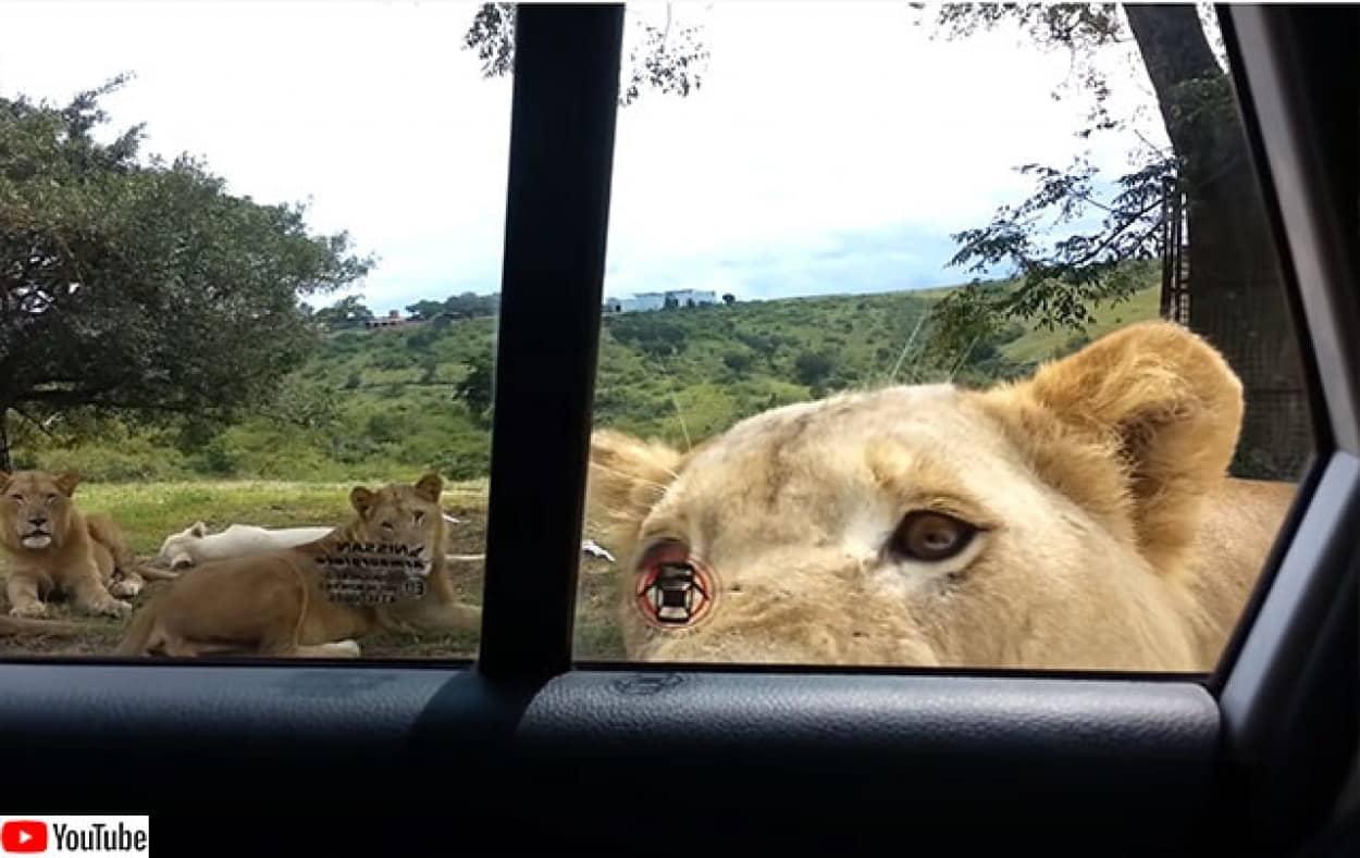 ライオンが車のドアを開けに来た!