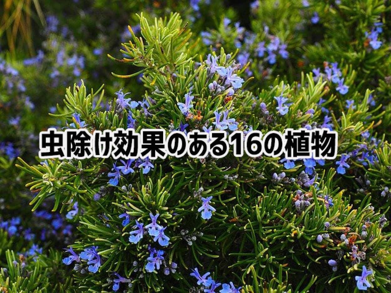 虫除け効果のある15の植物