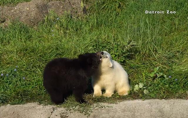 家族の愛に恵まれなかった子グマ同士が動物園で出会ったら大親友の白黒コンビに