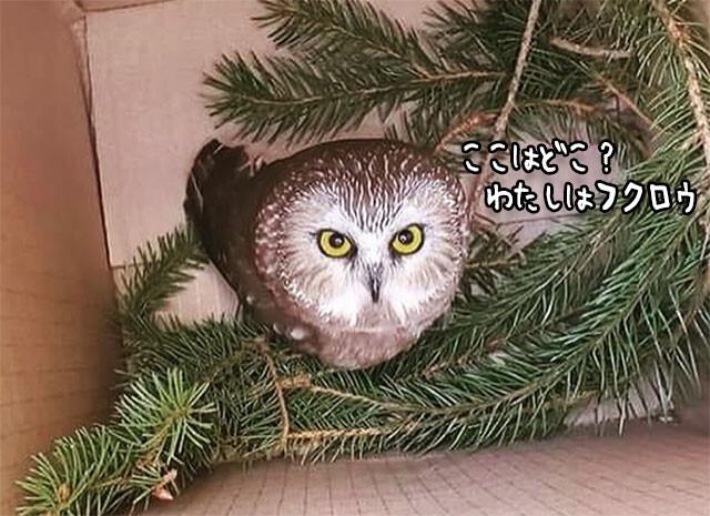 クリスマスツリーにひっついていたフクロウ