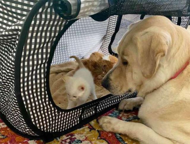 3匹の子猫の育ての親を買って出た犬、我が子のように愛情を注ぐ(アメリカ)
