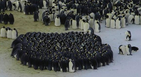 コウテイペンギンの画像 p1_19