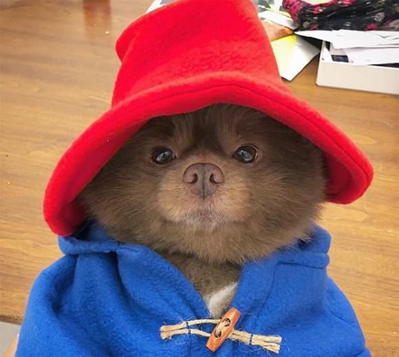 クマ?じゃなくて犬だった。くまのパディントンそっくりな元保護犬