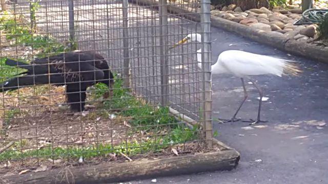 「ちっ、惜しい!」檻の中にいるも知恵者なワシ、自分の餌で鳥をおびき寄せ捕食を試みる