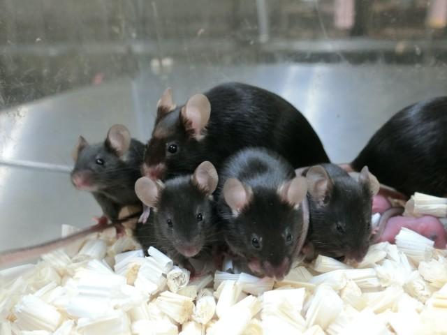 6年間フリーズドライされた精子から元気なマウスの赤ちゃんが誕生