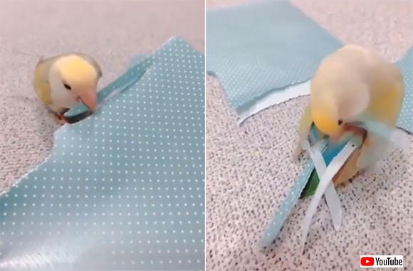 おしゃれ心が芽生えたインコ?包装紙をクチバシでちぎって尾羽の飾りに