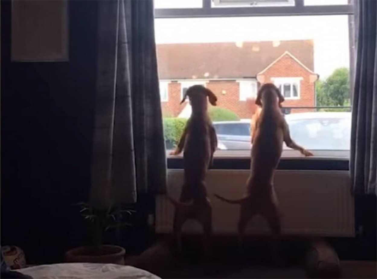 ゴミ収集作業員が来るのを窓際で待つ2匹の犬no title