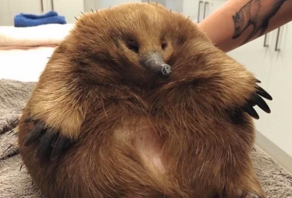 太りすぎてクリーチャーと化してしまったハリモグラが救助される(オーストラリア)