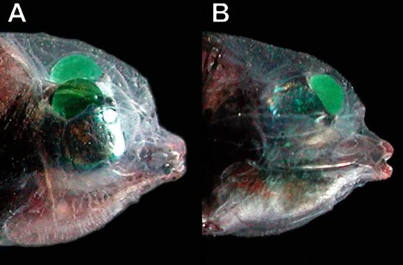 デメニギス:頭だけが透明で中身がぱっくり見える深海魚 ...