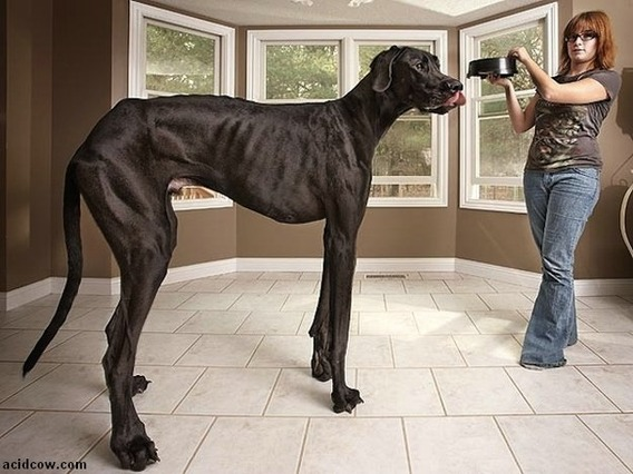 tallest_dog_08