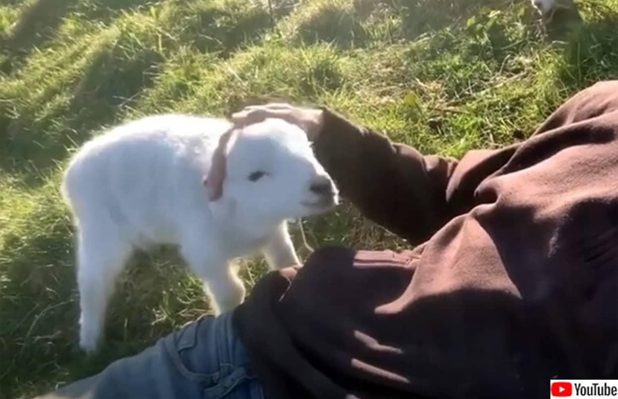 撫でられたい子羊が男性におねだりするかわいい映像