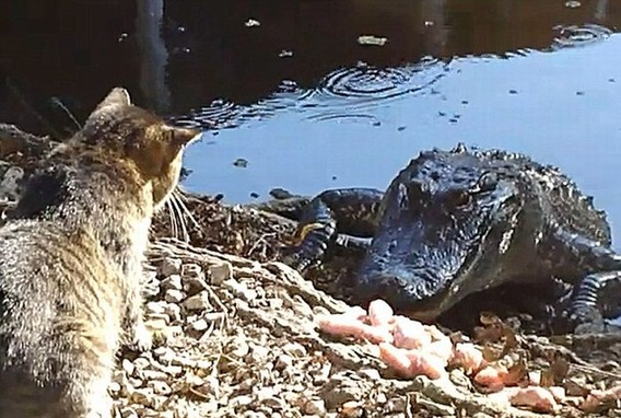 cat_vs_alligator_01