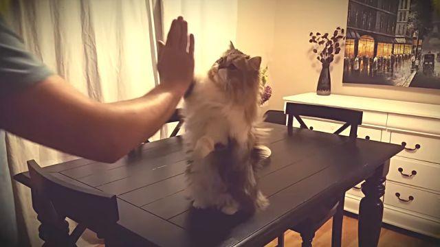 「はい、何度でもやったげるよ!」名前を呼べばハイタッチしにきてくれる律儀猫
