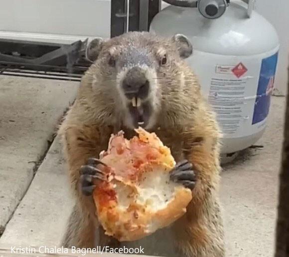 「ピザうめぇ!」2匹の犬に見せびらかしながらうまそうにピザを食べるウッドチャック(アメリカ)