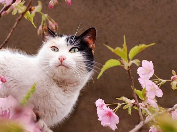 cherry_blossom_tree_cats_13