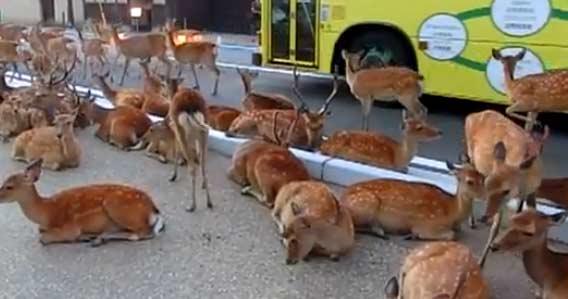 全ては鹿のシナリオ通り。冷えたアスファルトを占拠する奈良の鹿たち