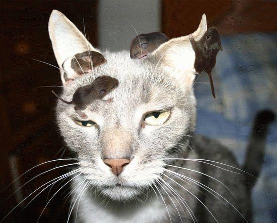 aaa-The-Cat-Rat