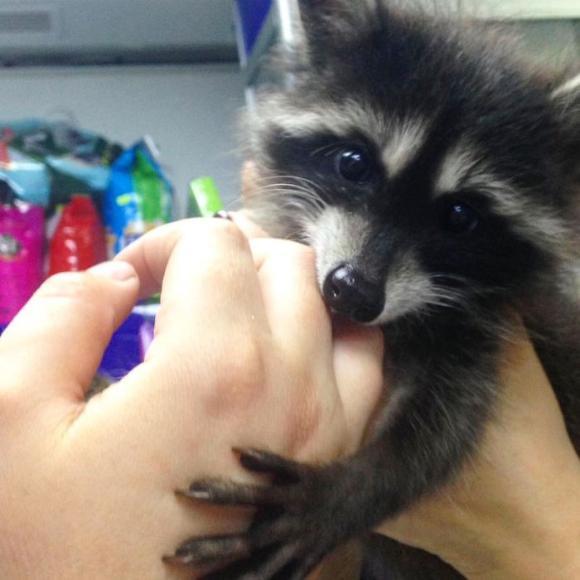raccoon-7 [www.imagesplitter.net]