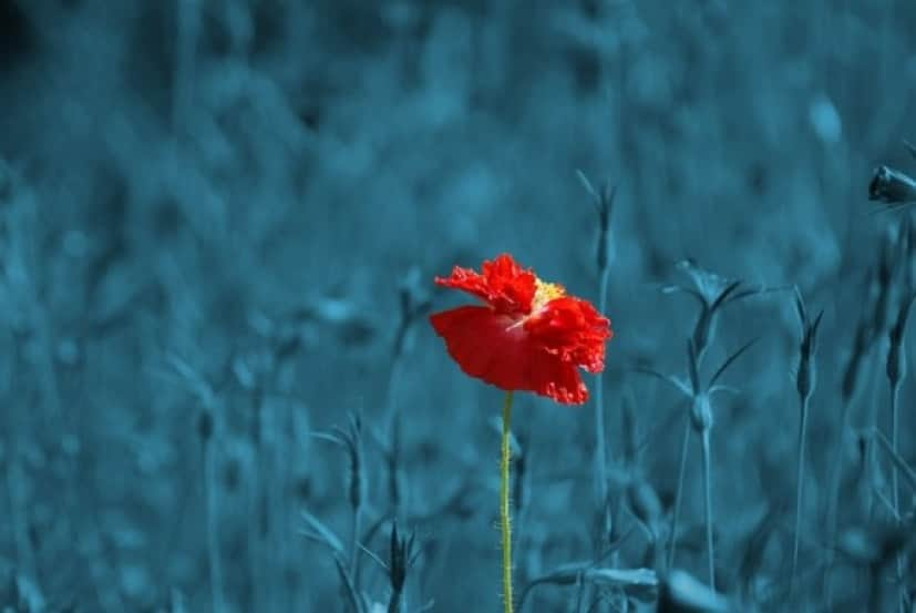 poppy-186635_640_e