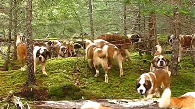 saintbernards2