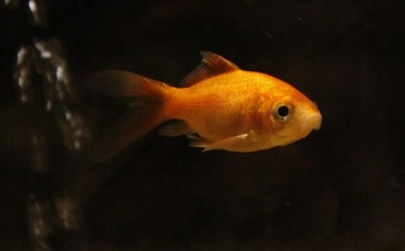 金魚を飲み込んだ動画を公開した男性、無益な苦痛を与えたとして罰金と5年間飼育禁止などを命じられる(イギリス)