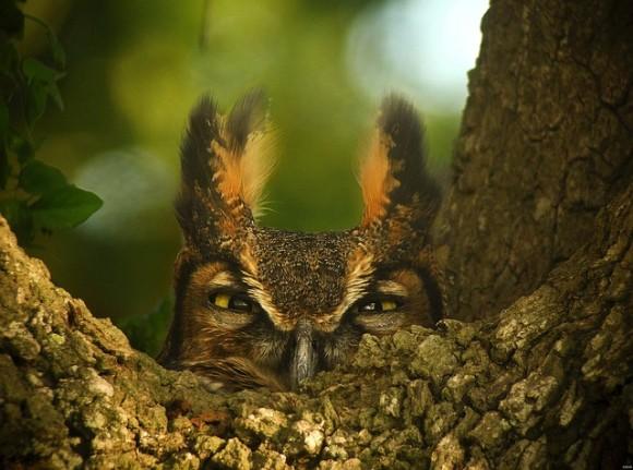 great-horned-owl-1157986_640_e