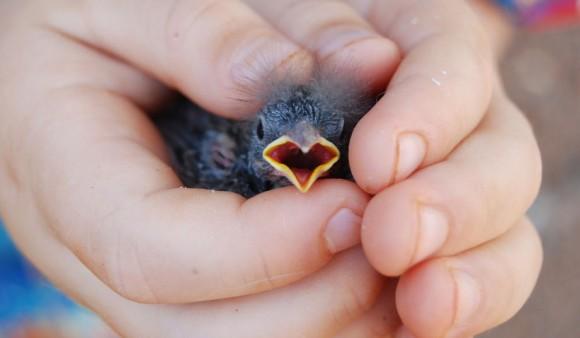 人間のニオイがついたヒナを親鳥は見捨てるって本当? あの噂を検証する。