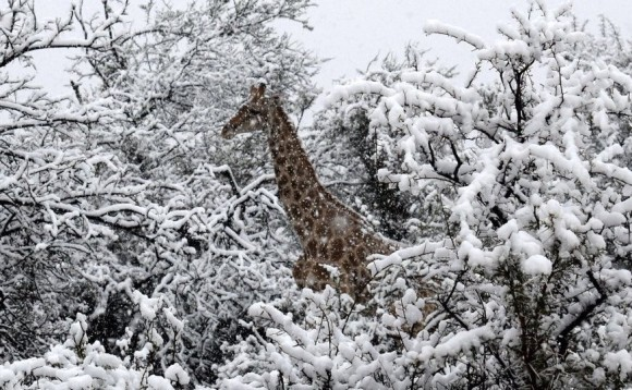 南アフリカで10年ぶりの雪。キリンが雪の中にたたずむとかいう珍百景。