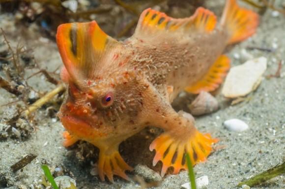 ヒレを使ってヨチヨチ歩く。世界で最も希少な魚の「レッドハンドフィッシュ」の個体数が2倍に増加(オーストラリア)