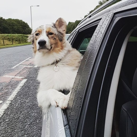 Resultado de imagen para australian shepherd 犬 車の中で