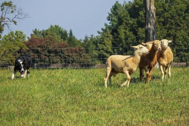 牧羊犬の本能すごい!衝突事故で行方不明になっていた犬、数日後に羊の群れをまとめようとしていたところを発見される