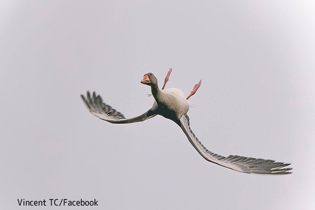 この違和感の正体は?顔はそのままで上下逆さま、背面飛行をしている不思議な鳥の飛び方が目撃される