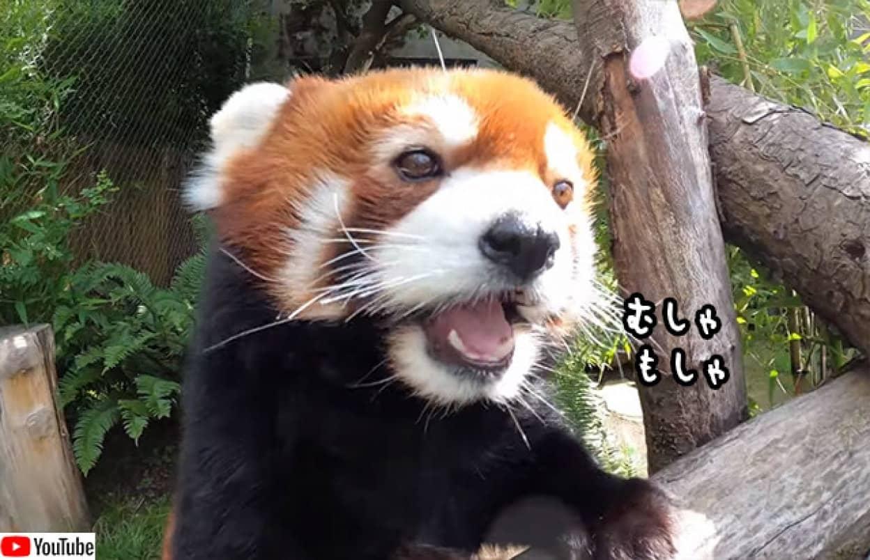 レッドパンダが食べるだけでなんでこんなにかわいいの?