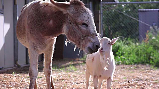 会いたかったよ!もう離れない!親友のロバと引き離され、食事も喉を通らなかったヤギ