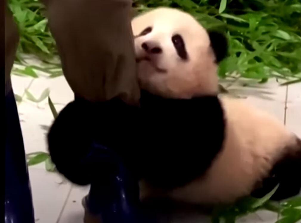 甘えん坊の子パンダが飼育員の足にしがみついて離れない
