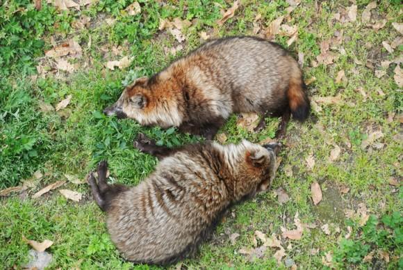 動物が死んだふりをする理由。自己防衛、求愛儀式、獲物を惹きつけるなどなど、種によって様々