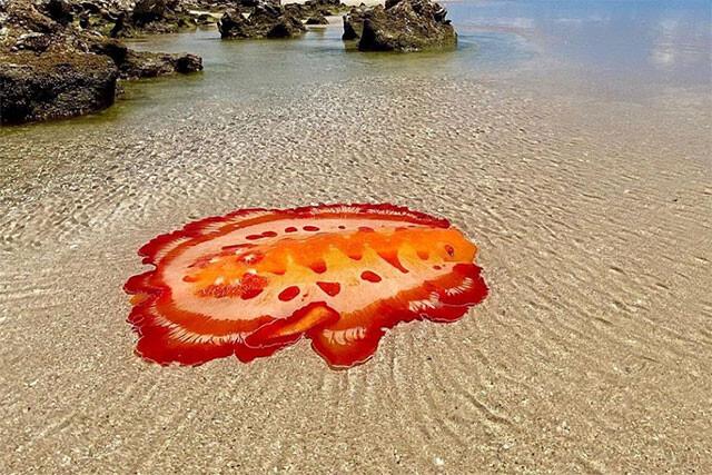 なんじゃこれクリーチャー。浅瀬で存在感を放つミカドウミウシ