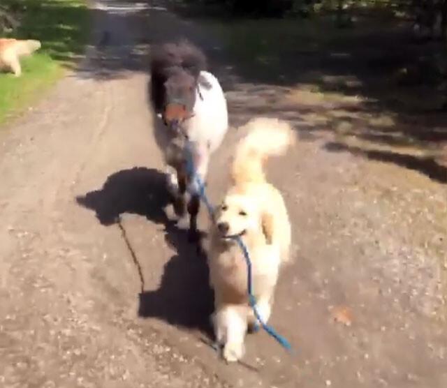 「お散歩行こ!」ポニーの手綱を引っ張って、一緒にお散歩するゴールデンレトリバー