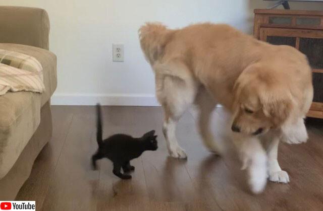 ゴールデンレトリバーと子猫のやさしい世界