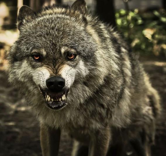 wolf_21