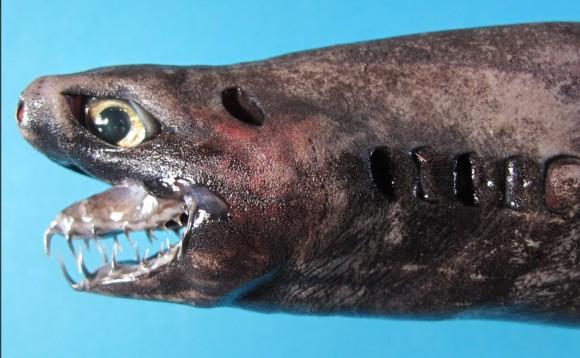深海のエイリアン、腹面に無数の発光器を持つ希少種、ワニグチツノザメの生体が引き揚げらられる(台湾)